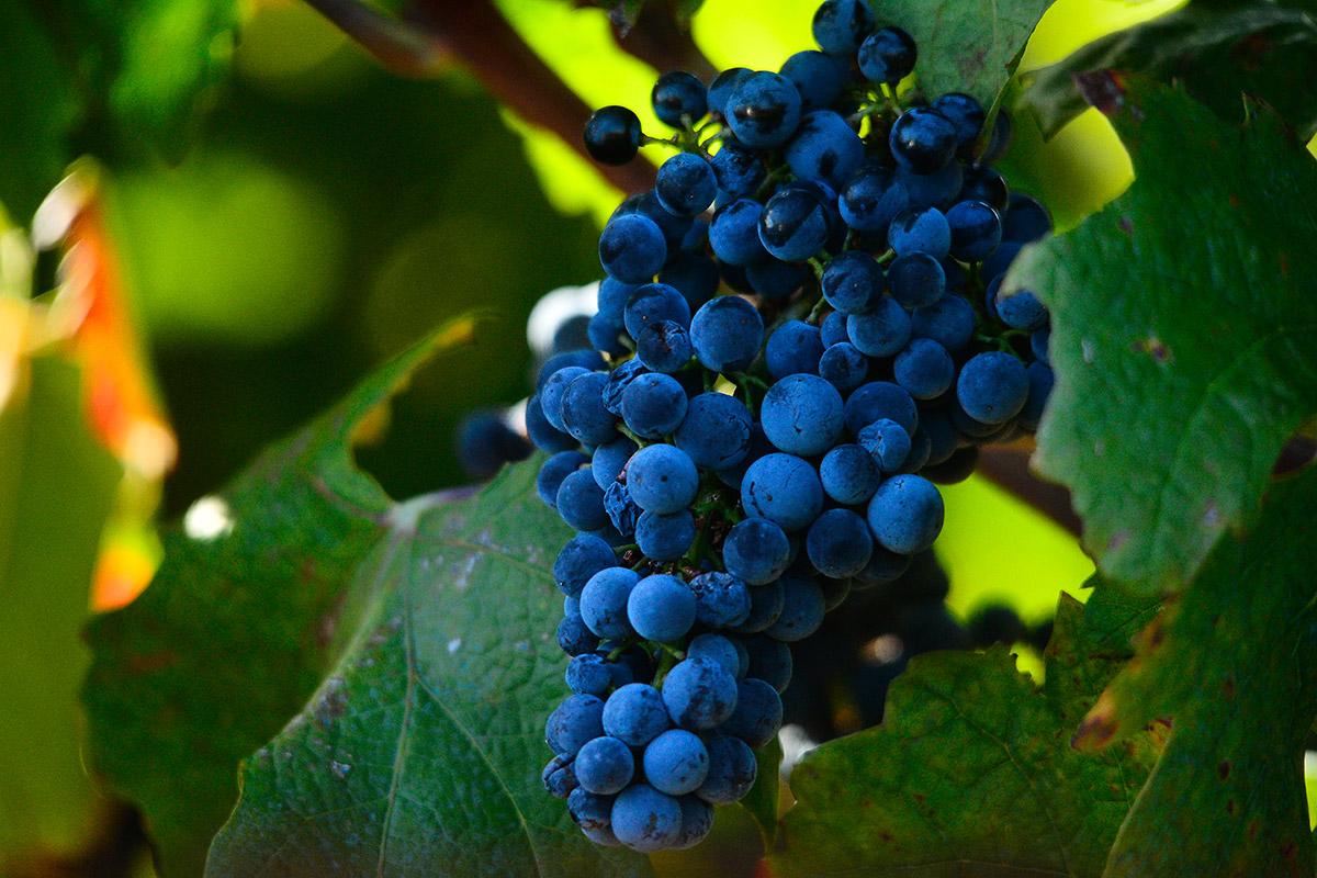 A closeup photo of a juicy grape of Plavac mali