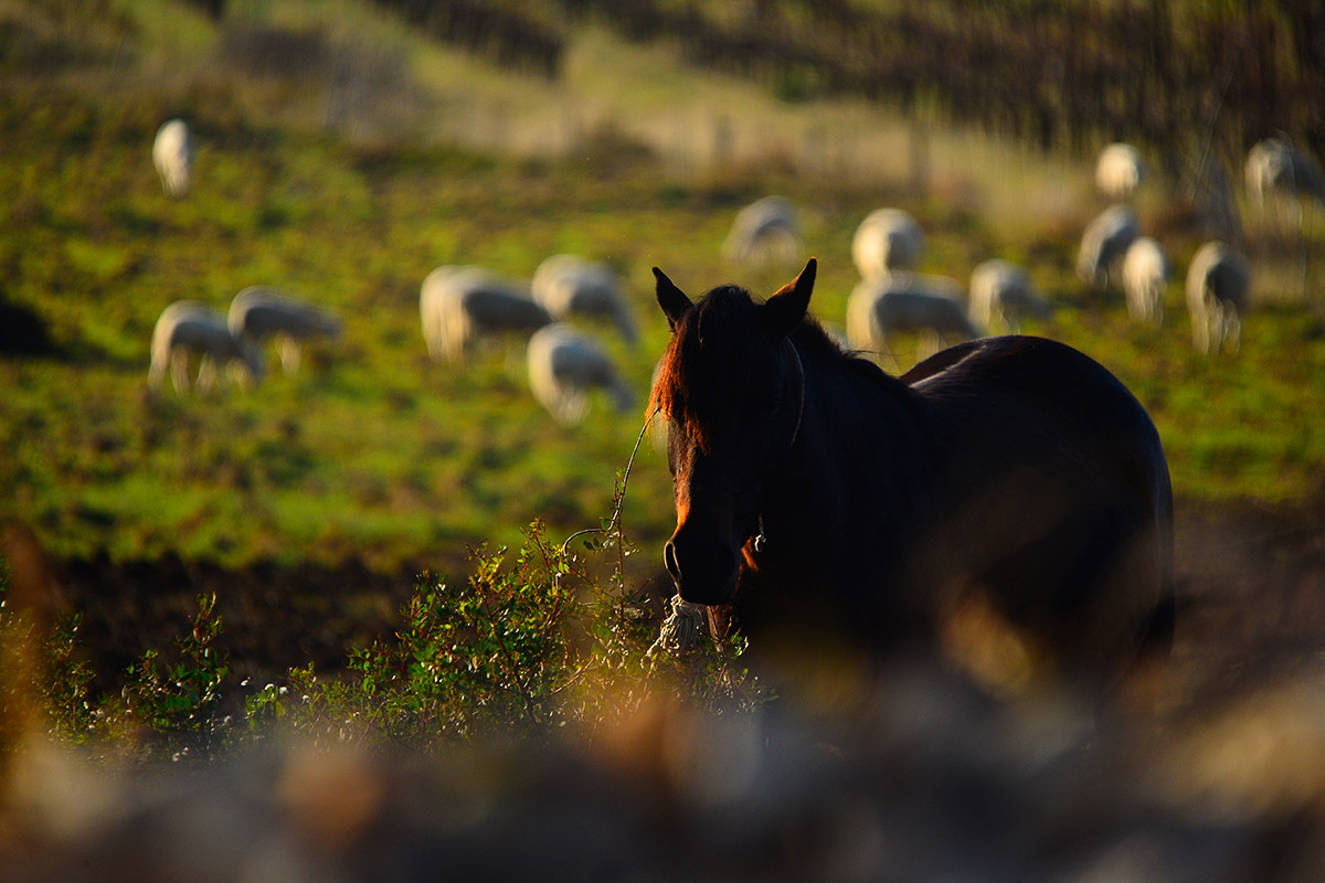 A horse in the foreground and a flock of sheep behind it in the interior of the island of Vis
